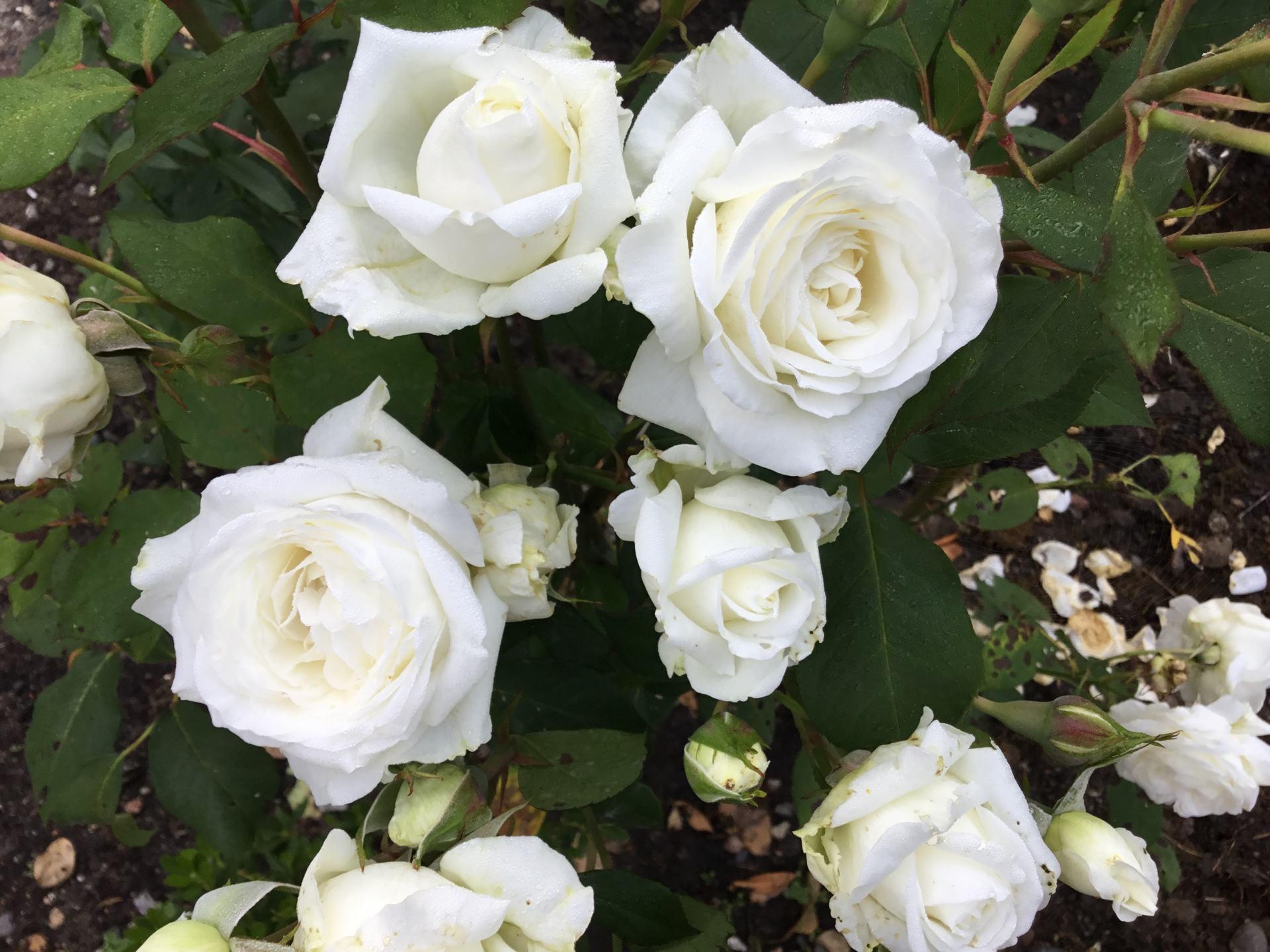 Efterår – nye roser i gårdhaven