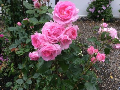 Efterår - roser