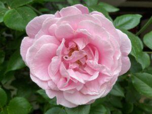 Roserne i gårdhaven