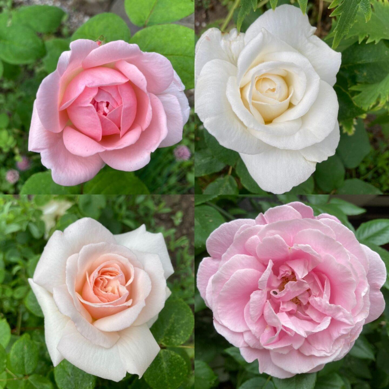 Roserne i gårdhaven 2021